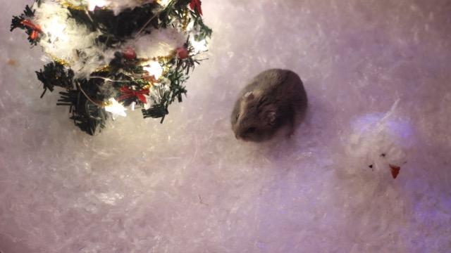 hamster-12